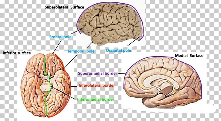 Brain Cerebrum Cerebral Hemisphere Occipital Lobe Frontal Lobe PNG, Clipart, Agy, Anatomical Terms Of Location, Anatomy, Brain, Cerebral Hemisphere Free PNG Download