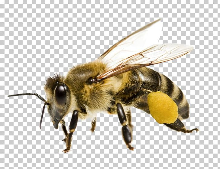 Honey Bee Bee Pollen Yellowjacket PNG, Clipart, Africanized Bee, Arthropod, Bee, Bee Bee, Beehive Free PNG Download