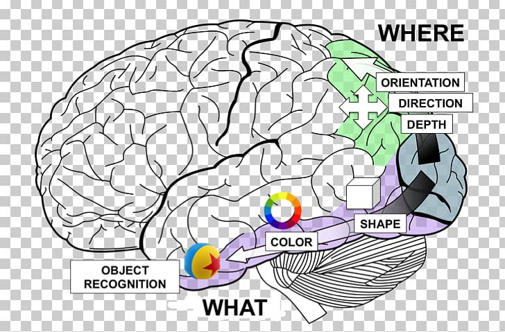 Lobes Of The Brain Temporal Lobe Frontal Lobe Occipital Lobe PNG, Clipart, Anatomy, Area, Auditory Cortex, Brain, Cerebral Cortex Free PNG Download