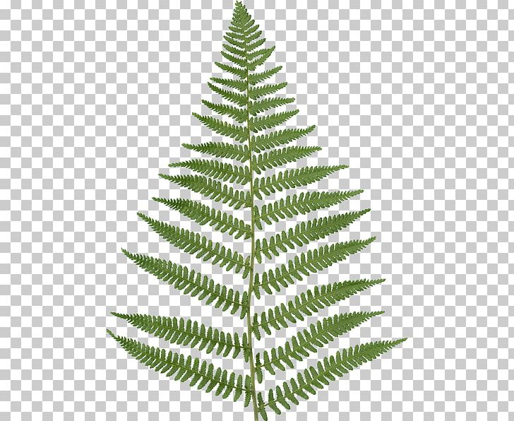Fern Vascular Plant Texture Mapping Leaf Png Clipart Alpha Channel