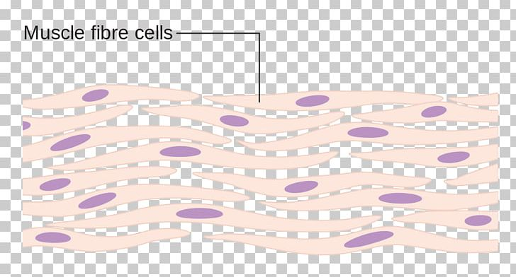 Myocyte Cell Muscle Human Body Tissue PNG, Clipart, Angle, Cardiac Muscle, Cardiac Muscle Cell, Cell, Connective Tissue Free PNG Download