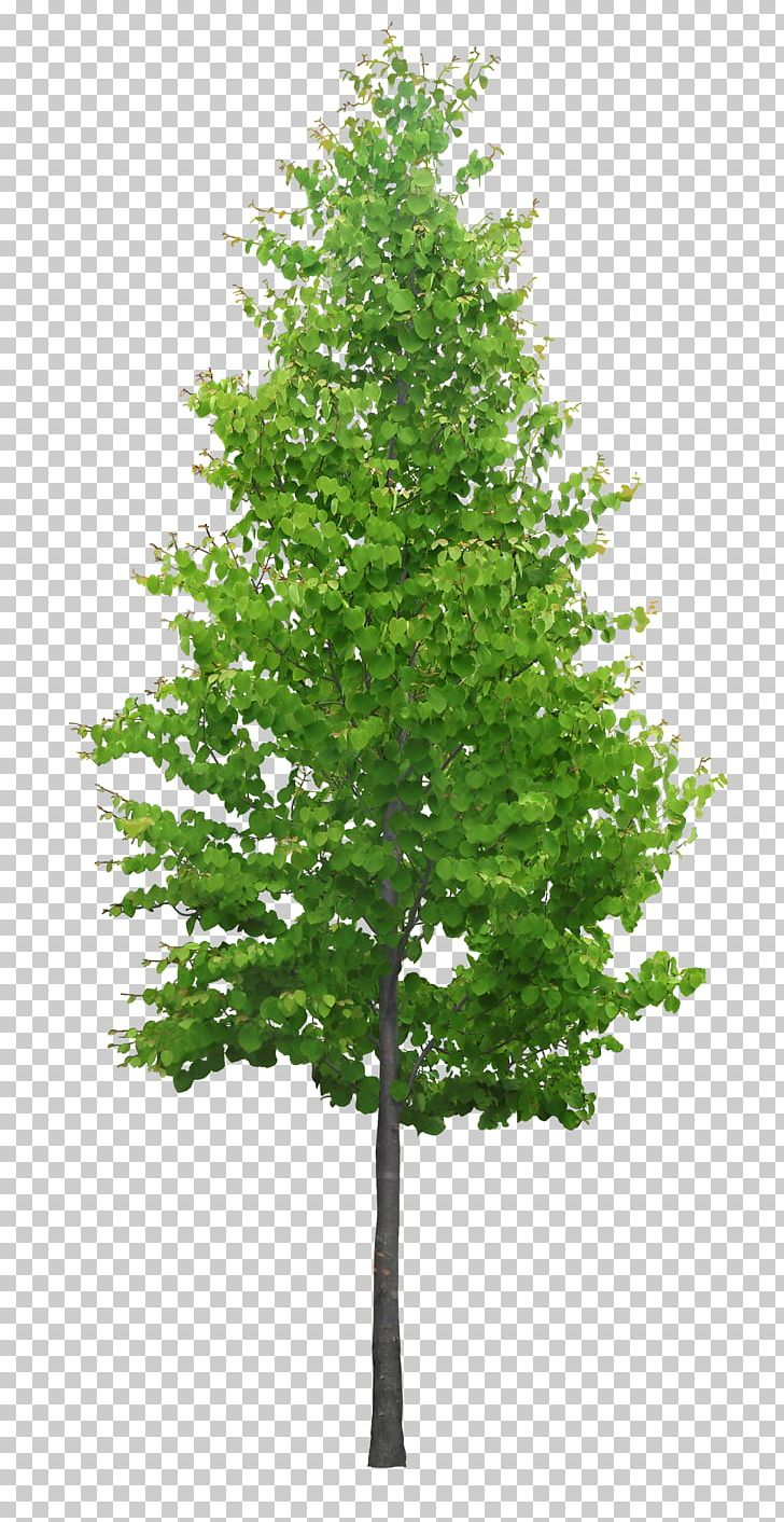 3D Modeling Tree SketchUp 3D Computer Graphics Cedar PNG