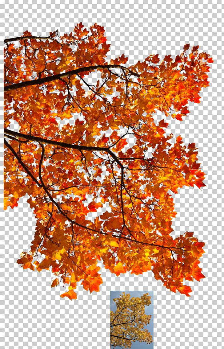 Autumn Leaf Color Tree Maple Branch PNG, Clipart, Autumn, Autumn Leaf Color, Autumn Leaves, Branch, Deciduous Free PNG Download