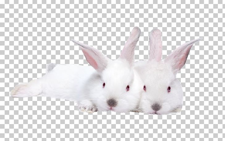 Lionhead Rabbit Domestic Rabbit Hare Stock Photography PNG, Clipart, Animal, Animals, Cuteness, Domestic Rabbit, Hare Free PNG Download
