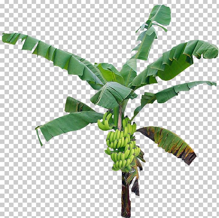 Tree Banana PNG, Clipart, Banana, Banana Leaf, Banana Leaves, Banana Tree, Banana Wood Free PNG Download