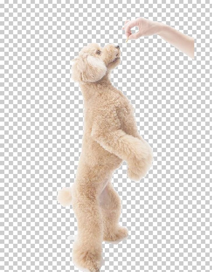 Toy Poodle Miniature Poodle Standard Poodle Pet PNG, Clipart, Animal, Arm, Baby Toy, Baby Toys, Beige Free PNG Download