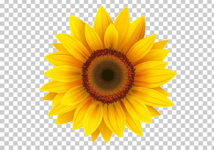 Portable Network Graphics Common Sunflower Transparency PNG, Clipart, Closeup, Common Sunflower, Computer Icons, Daisy Family, Dovme Free PNG Download