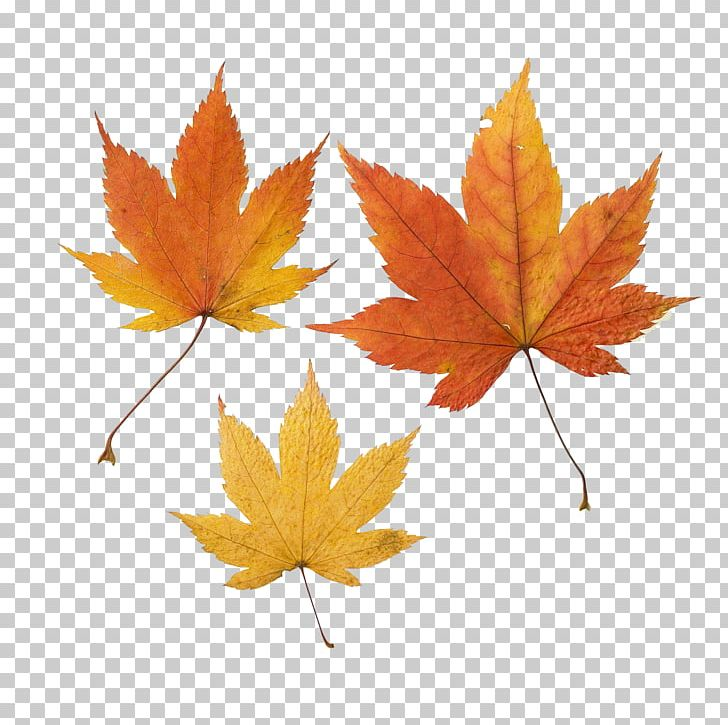 Maple Leaf Autumn Leaf Color PNG, Clipart, Autumn, Autumn Leaf Color, Fallen Leaves, Green, Leaf Free PNG Download