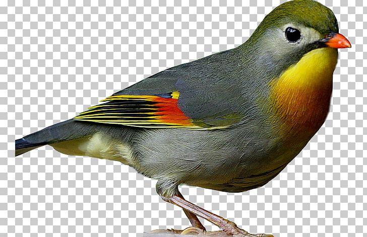 Common Nightingale European Robin Bird Finch Vertebrate PNG, Clipart