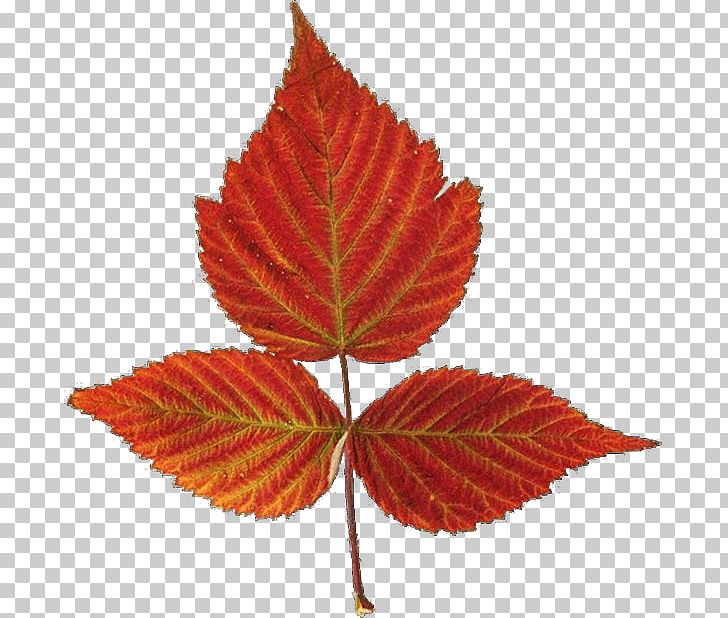 Red Maple Autumn Leaf Color Maple Leaf PNG, Clipart, Autumn, Autumn Leaf Color, Autumn Leaves, Autumn Tree, Deciduous Free PNG Download
