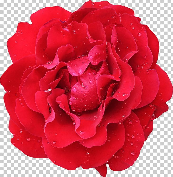 Garden Roses Cabbage Rose Flower Floribunda Red PNG, Clipart, Carnation, China Rose, Color, Cut Flowers, Floribunda Free PNG Download