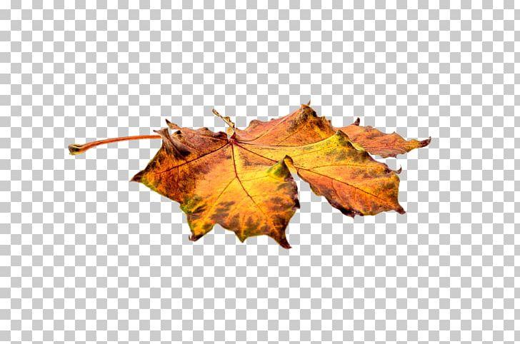 Autumn Leaf Color Autumn Leaf Color PNG, Clipart, Autumn, Autumn Leaf Color, Autumn Leaves, Color, Download Free PNG Download