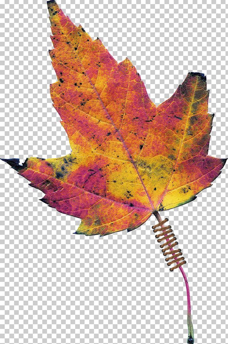 Maple Leaf Tree Plant PNG, Clipart, Autumn Leaves, Leaf, Maple, Maple Leaf, Maple Tree Free PNG Download