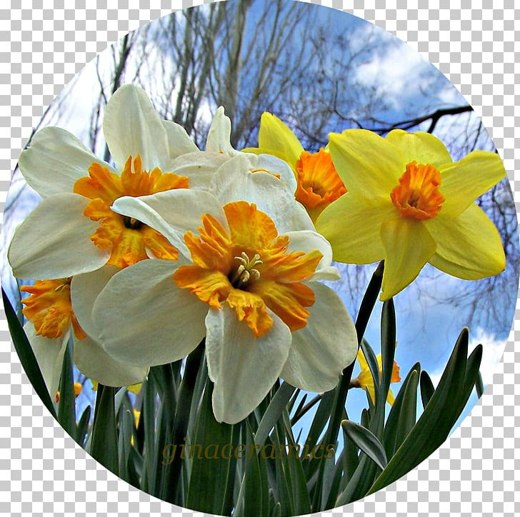 Narcissus PNG, Clipart, Amaryllis Family, Daffodils, Flower, Flowering Plant, Narcissus Free PNG Download