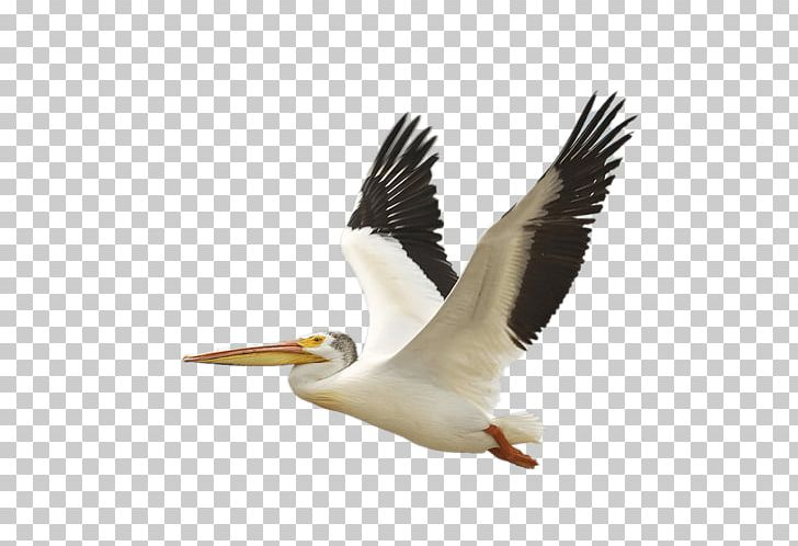 Pelican Clipart Black And White - Water Bird , Free Transparent Clipart -  ClipartKey