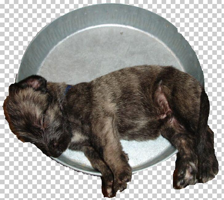 Puppy Irish Wolfhound Rare Breed (dog) Dog Breed Cairn