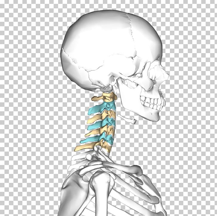 Axis Atlas Cervical Vertebrae Bone Vertebral Column PNG