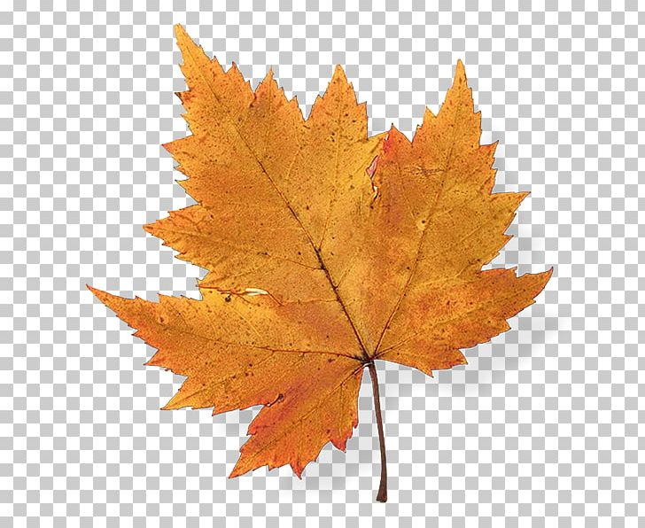 Autumn Leaf Color Maple Leaf Japanese Maple PNG, Clipart, Autumn, Autumn Leaf Color, Drawing, Green, Japanese Maple Free PNG Download