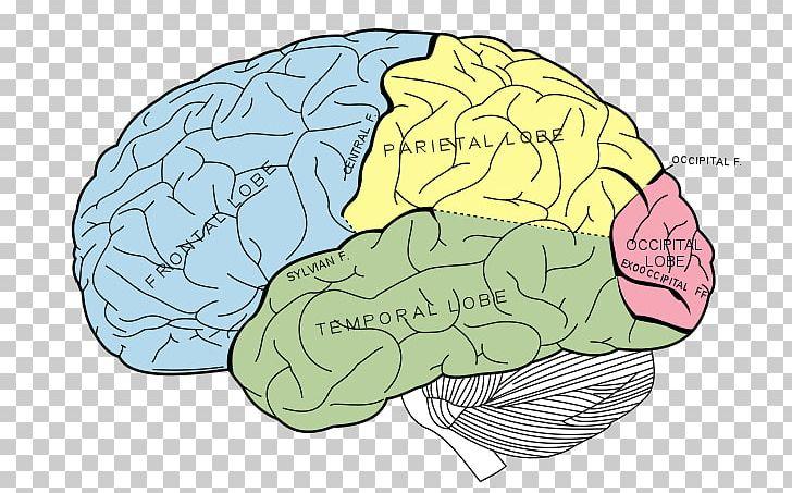 Lobes Of The Brain Parietal Lobe Frontal Lobe Human Brain PNG, Clipart, Anatomy, Area, Brain, Cerebral Cortex, Cerebral Hemisphere Free PNG Download