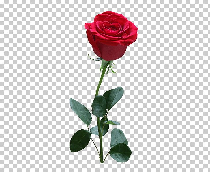 Stock Photography Rose PNG, Clipart, Artificial Flower, Can Stock Photo, Cut Flowers, Download, Flower Free PNG Download