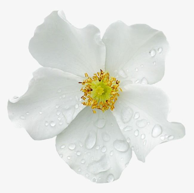 Water Drops On The White Flowers PNG, Clipart, Bud, Drops, Drops Clipart, Flowers, Flowers Clipart Free PNG Download