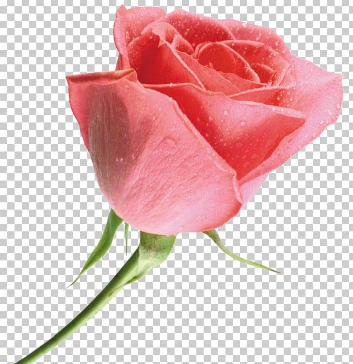 Beach Rose Yellow Multiflora Rose Flower Red PNG, Clipart, Arabian Jasmine, Beach Rose, Bud, China Rose, Closeup Free PNG Download