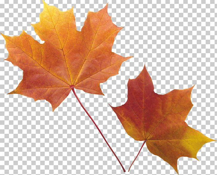 Red Maple Autumn Leaf Color Maple Leaf PNG, Clipart, Animal, Autumn, Autumn Leaf Color, Autumn Leaves, Beach Free PNG Download