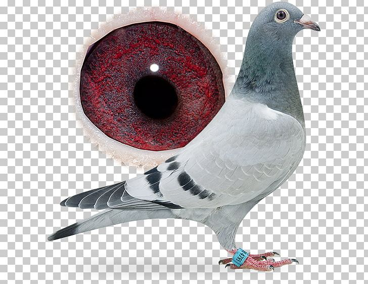 Racing Homer Columbidae Breed Pigeon Racing Bird PNG, Clipart, Animals, Beak, Belgica De Weerd Bv, Bird, Breed Free PNG Download