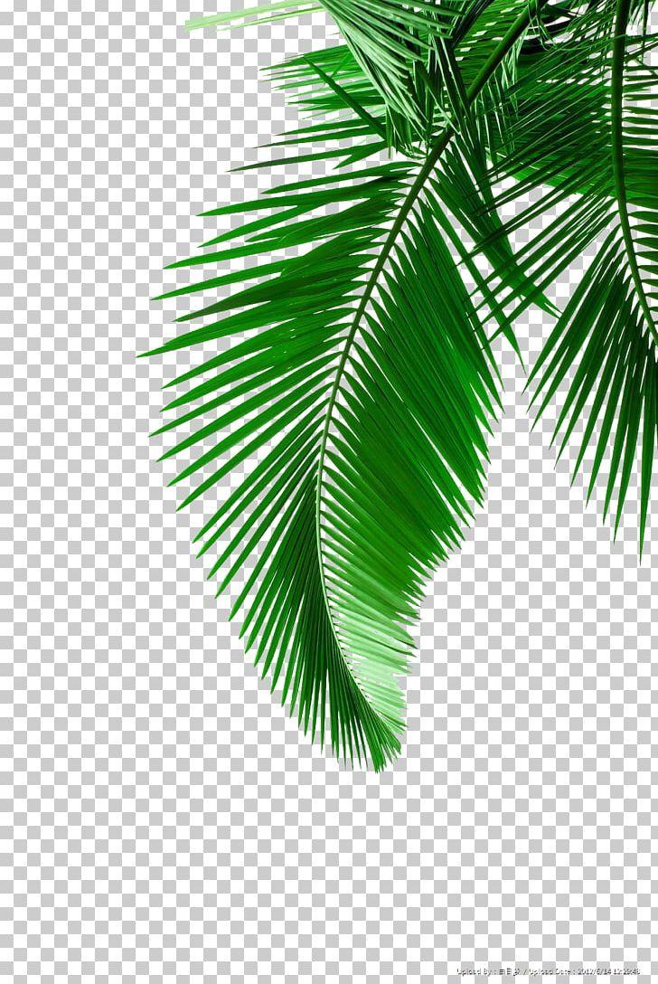 Arecaceae Leaf White PNG, Clipart, Arecaceae, Arecales, Autumn Leaf Color, Branch, Coconut Free PNG Download