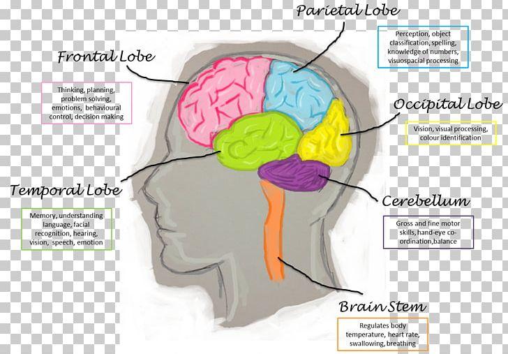 Human Brain Lobes Diagram ~ DIAGRAM