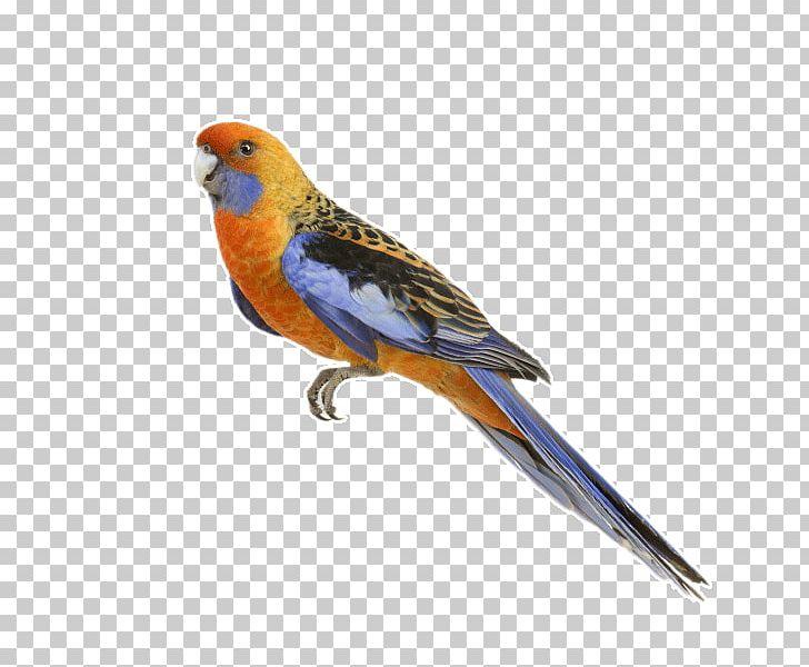 Parrot PNG, Clipart, Animal, Beak, Bird, Birds, Cockatiel Free PNG Download