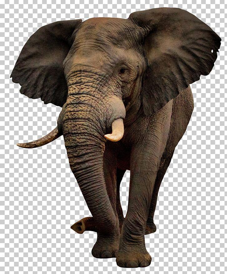 African Bush Elephant Png Clipart African Bush Elephant