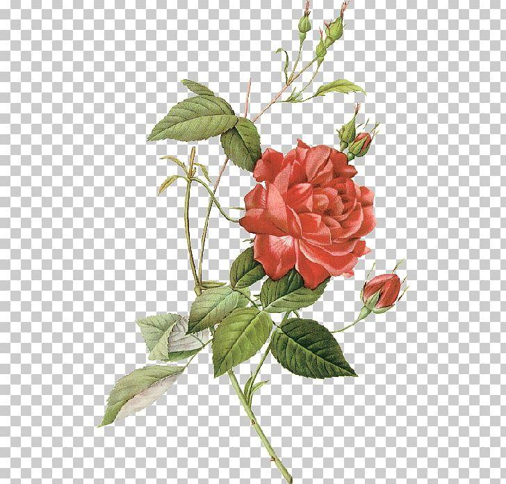 Les Roses Botanical Illustration China Rose Drawing PNG, Clipart, Art, Botanical Illustrator, Botany, Branch, Cut Flowers Free PNG Download
