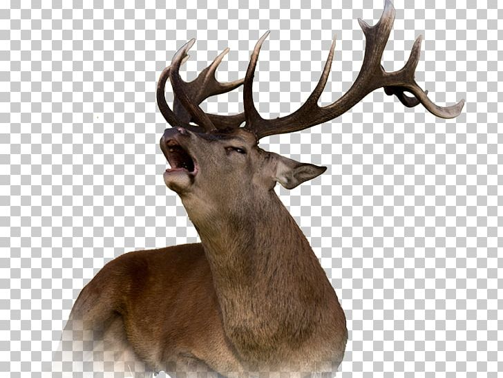 Reindeer Red Deer Elk Moose PNG, Clipart, Animal, Animals, Antler, Biggame Hunting, Deer Free PNG Download