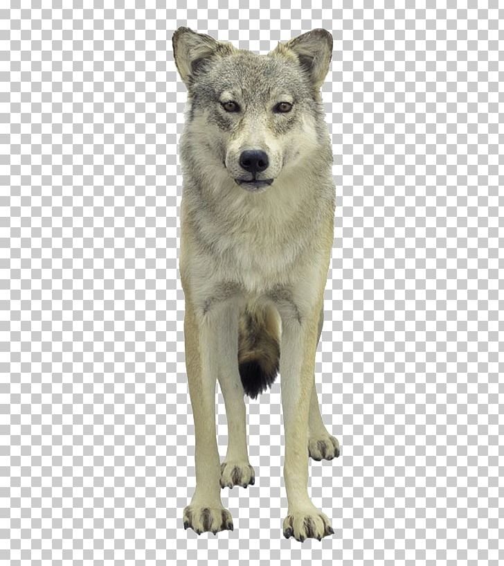 Tundra Wolf Puppy Loup Png Clipart Angry Wolf Face Animals Canis Lupus Tundrarum Carnivoran Cartoon Free