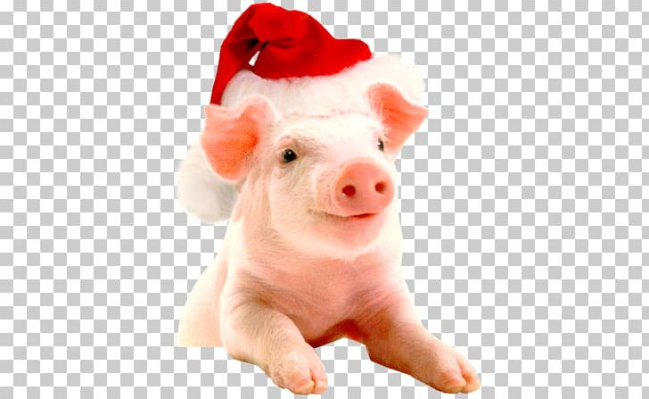 Christmas Pigs.Vietnamese Pot Bellied Christmas Hogs And Pigs Farm New Year