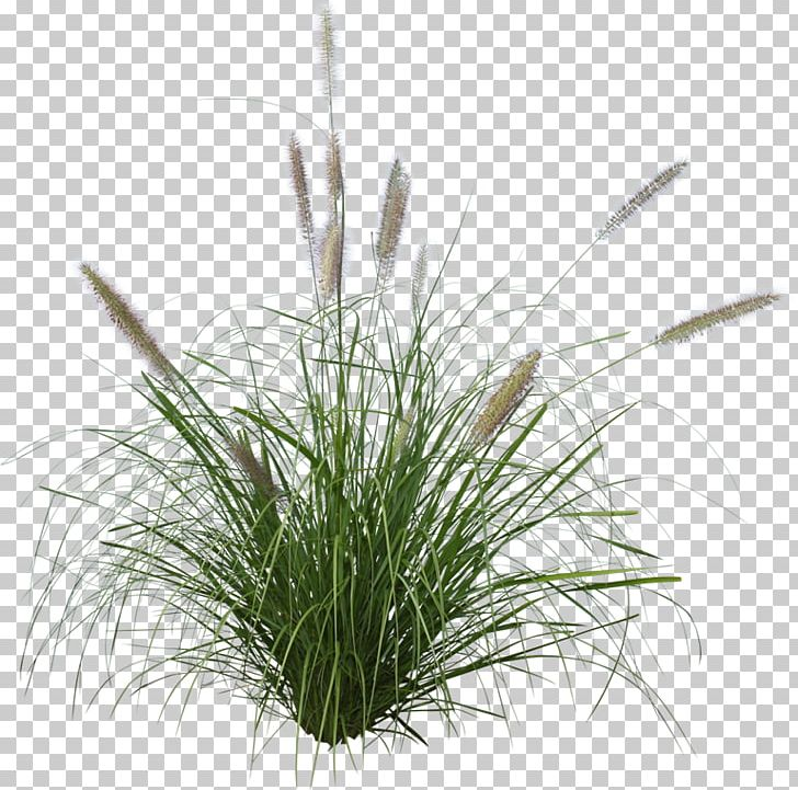 Pennisetum Alopecuroides Ornamental Grass Purple Fountain Grass Japanese Forest Grass PNG, Clipart, Chrysopogon Zizanioides, Commodity, Fountaingrasses, Garden, Grass Free PNG Download
