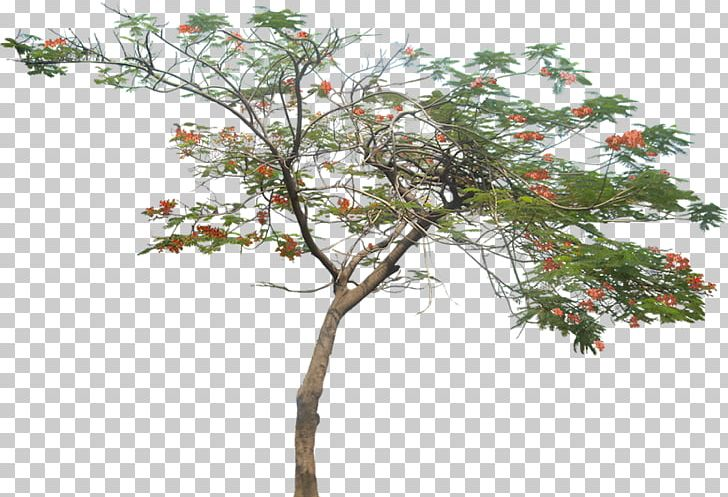 Tree Royal Poinciana Plant Png Clipart Branch Desert