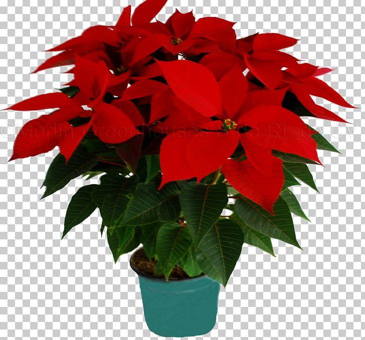 Flower Poinsettia Christmas Merlin Greenhouses S De RL De CV Houseplant PNG, Clipart, Annual Plant, Christmas, Christmas Eve, Cut Flowers, Flor Free PNG Download
