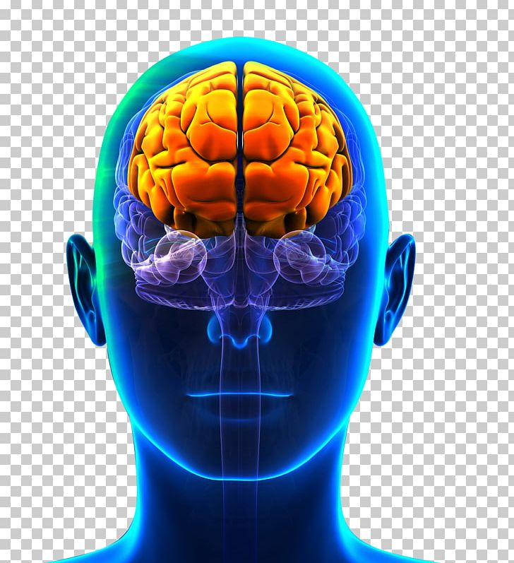 Prefrontal Cortex Frontal Lobe Cerebral Cortex Lobes Of The Brain PNG, Clipart, Anatomy, Brain, Brain Damage, Cerebral Cortex, Cortex Free PNG Download