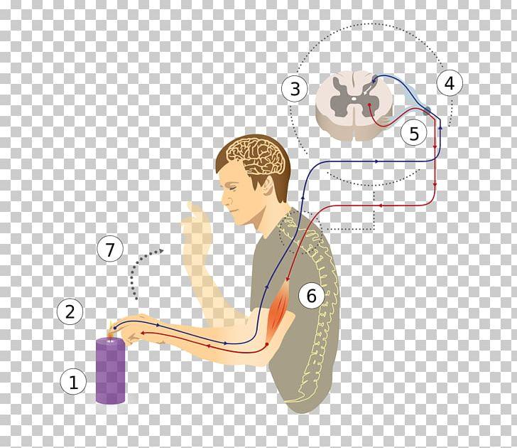 Reflex Arc Patellar Reflex Spinal Cord Nervous System PNG