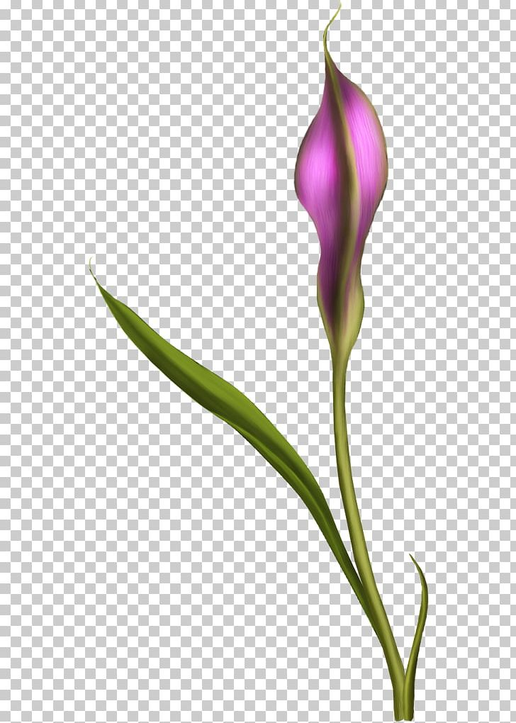 English Lavender Flower Tulip Petal Plant Stem PNG, Clipart, Biscuits, Bud, Calla, English Lavender, Flavor Free PNG Download