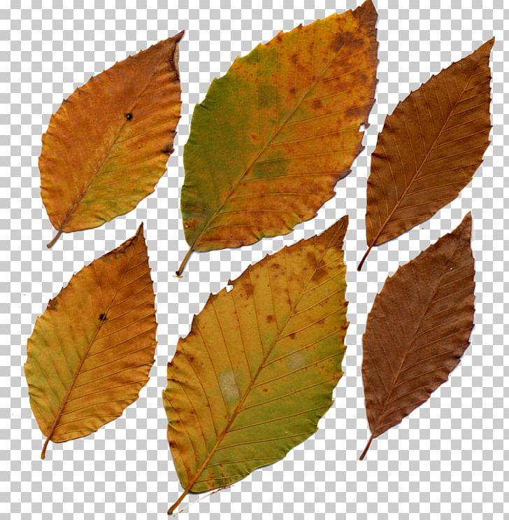 Fagus Grandifolia Leaf Deciduous Tree Plant PNG, Clipart, Autumn, Beech, Daylily, Deciduous, Deciduous Tree Free PNG Download