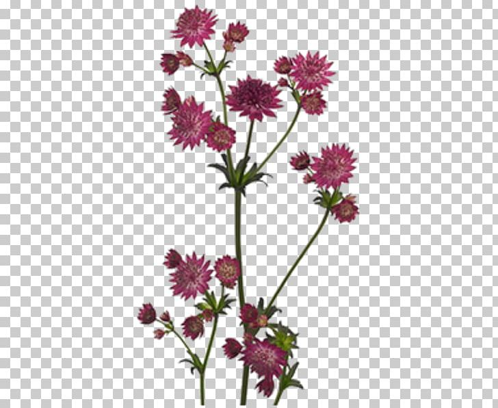 Showroom Darissimo Chrysanthemum Plants Cut Flowers PNG, Clipart, Annual Plant, Aster, Astrantia Major, Chrysanthemum, Chrysanths Free PNG Download