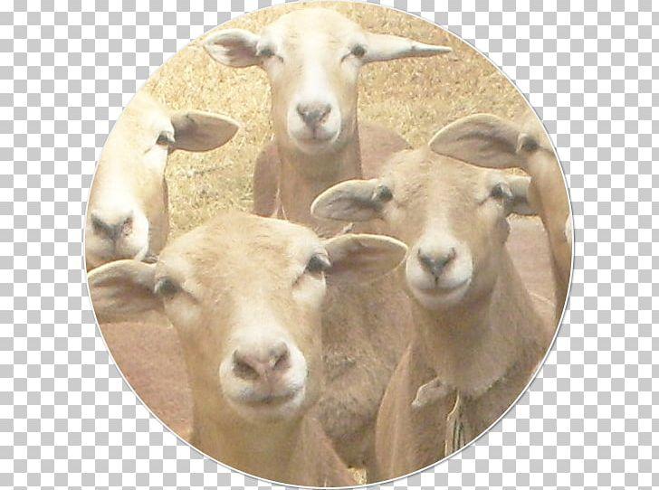 Goat Dorper Pelibuey Sheep Santa Inês Sheep Caprinae PNG
