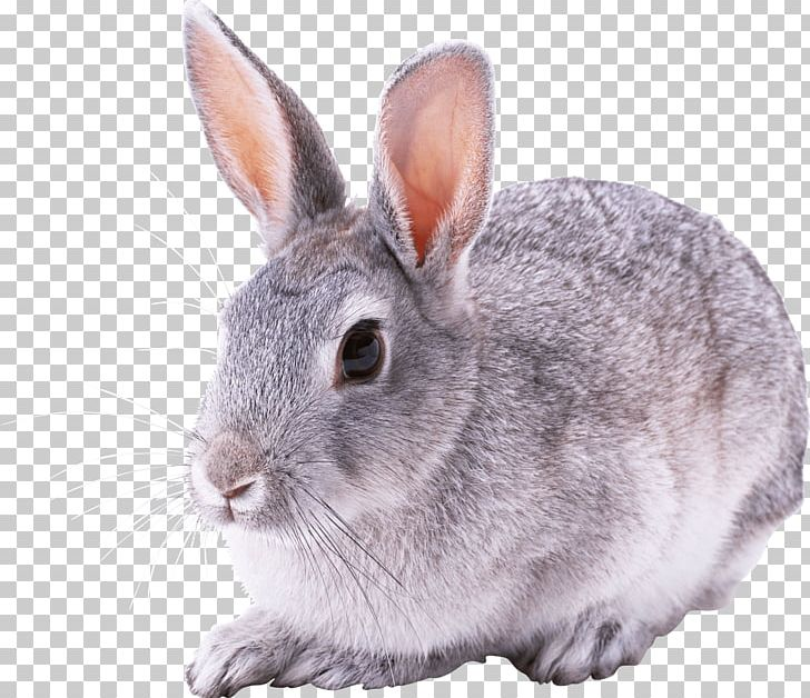 Rabbit PNG, Clipart, Akitainu, Animal, Animals, Cat, Catlovers Free PNG Download