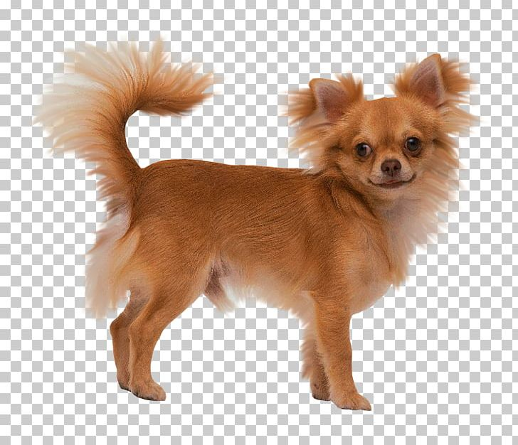 Long Haired Chihuahua Puppy Yorkshire Terrier Toy Fox