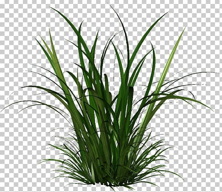Herbaceous Plant Seed Cymbopogon Citratus PNG, Clipart