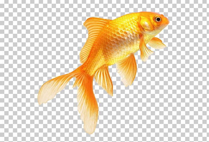 Goldfish PNG, Clipart, Alpha Compositing, Animals, Aquarium, Bony Fish, Feeder Fish Free PNG Download