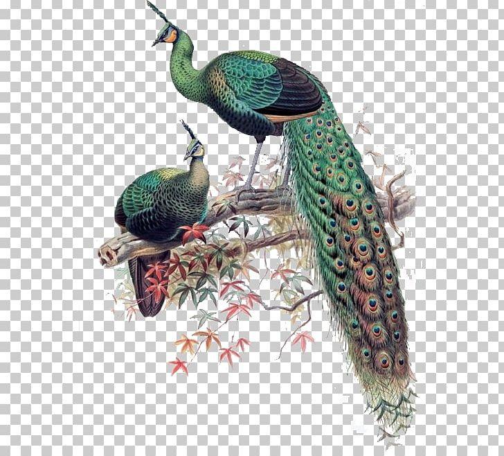 Green Peafowl Bird Asiatic Peafowl Phasianidae PNG, Clipart, Animal, Animals, Asiatic Peafowl, Background Green, Beak Free PNG Download